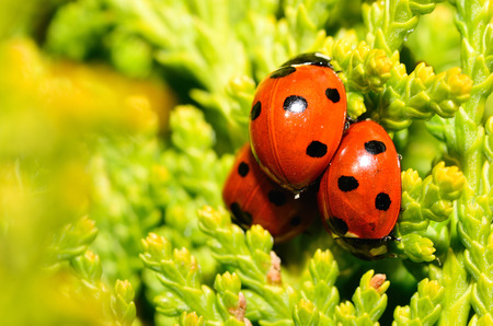 three ladybugs on each other in the spring photo