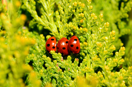 three little ladybug next to each other in the shrub photo