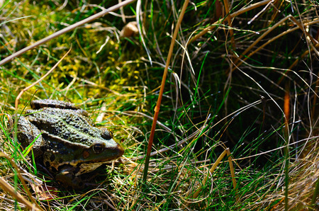green frog sitting in the grass in a pond photo