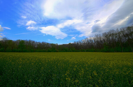 fresh rape field with forest and blue background hdr shot photo
