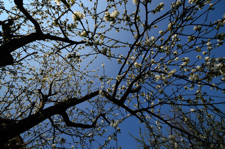flowering cherry tree in spring with blue sky photo