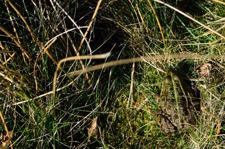 green frog with good camouflage in the grass photo