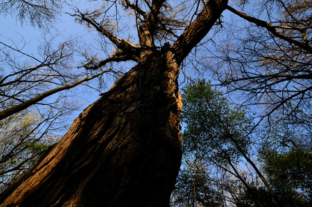 large gnarled old tree in the forest photo