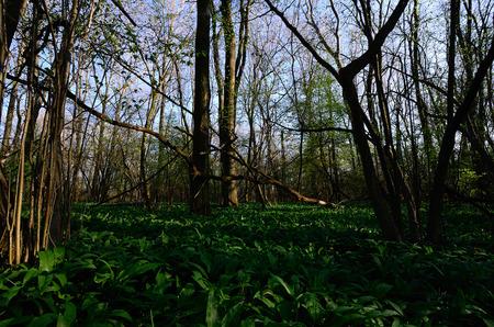 tannenbaum: green forest in spring Stock Photo