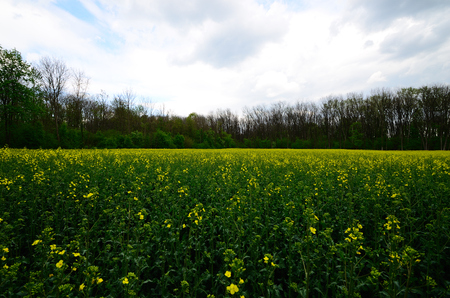 fresh yellow rape field in spring photo