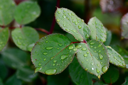 refreshes: many drops on rose pedals after rain