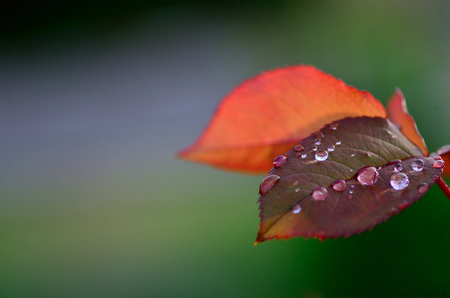 refreshes: many raindrops on rose petals with background Stock Photo