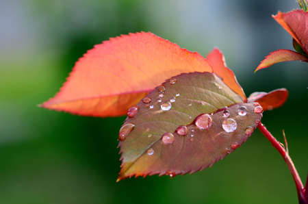 refreshes: many raindrops on a red rose petal