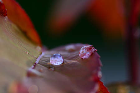 refreshes: raindrops on a rose leaf macro viewt