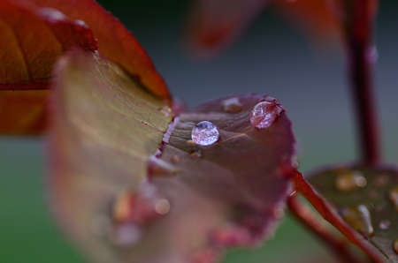 refreshes: closeup view of raindrops on a rose leaf Stock Photo