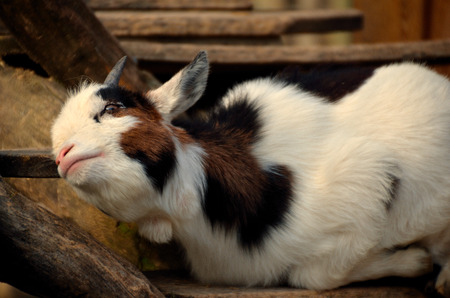 dear little goat at the zoo photo