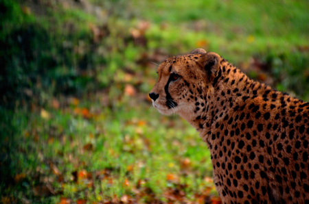 leopard from the side with green background photo