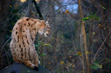 lynx sitting in a enclosure at the zoo photo