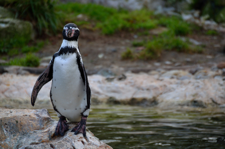 small penguin standing on a rock in zoo photo