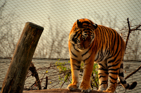 beautiful tiger in a zoo is enclosure photo