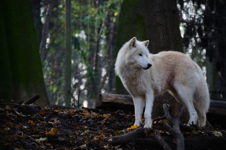beautiful white wolf standing and looking at the zoo photo