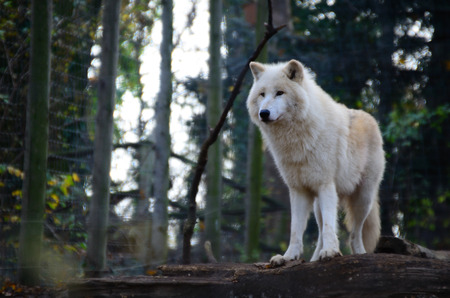 beautiful white wolf stands in a enclosure at the zoo photo