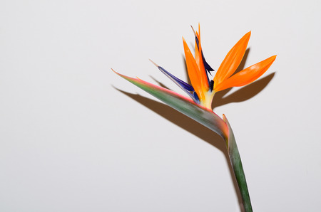 bloom bird of paradise: Colorful withered Bird of Paradise flower bloom on white background Stock Photo