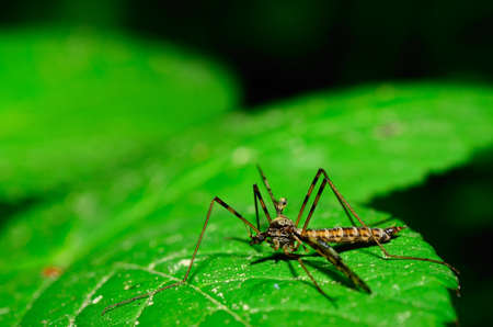 crane fly: crane fly sitting on a green leaf in the forest Stock Photo