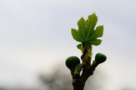 fig leaf: fresh fig leaf with fruits in spring