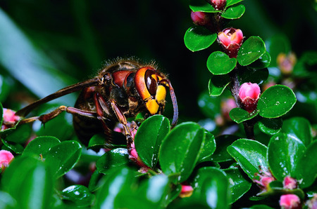 sums: large hornet sitting on a shrub in the garden Stock Photo