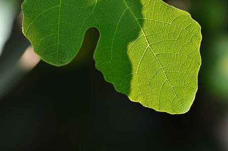 fig leaf: fresh fig leaf on a bush macro view Stock Photo