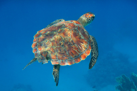 karetschildpad zwemt in de blauwe zee Stockfoto