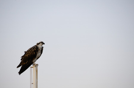 sea eagle: beautiful sea eagle sitting on flagpole at the beach