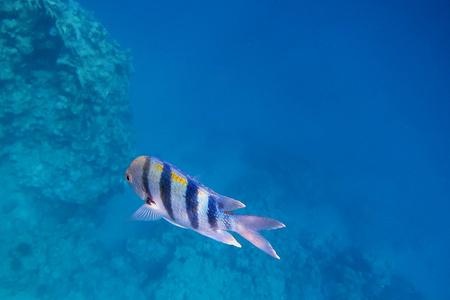blue fish: single sergeant fish in the blue sea