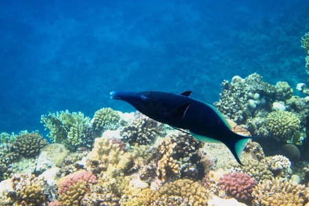 wrasse: longnose wrasse swims in the Red Sea Stock Photo
