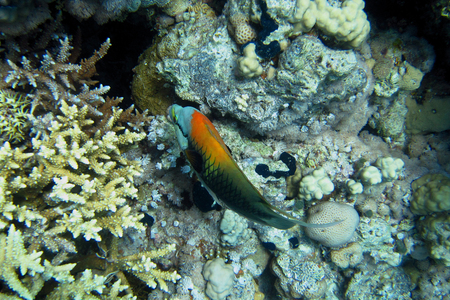 wrasse: colorful Slingjaw wrasse in the Red Sea Stock Photo