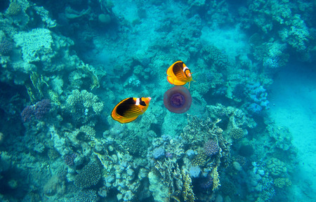 butterfly fish: two tobacco butterfly fish eat a purple jellyfish in the sea