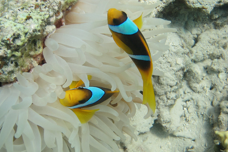 salt water fish: two colorful anemone fish in anemone hide
