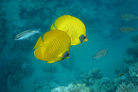butterfly fish: two bright yellow mask butterfly fish swim in the sea