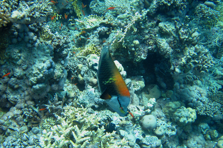 wrasse: Slingjaw wrasse swims in the Red Sea Stock Photo