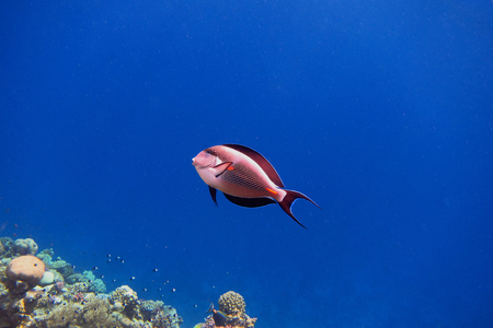 sohal: Sohal Surgeonfish in blue water in egypt