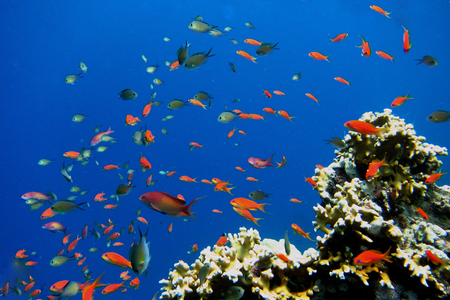 blue fish: many colorful little fish in blue water of the Red Sea