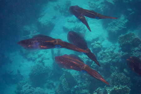 salt water fish: many squid swim in the sea confused