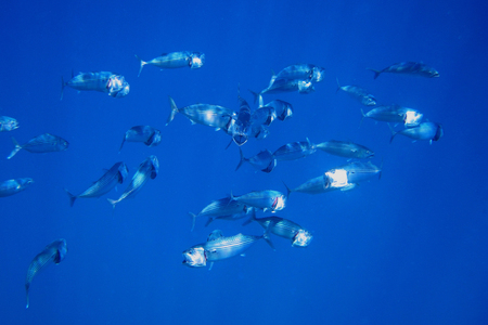 blue fish: many big mouth mackerel swimming in blue water