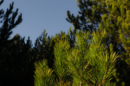 tannenbaum: many green needles on a pine tree in forest
