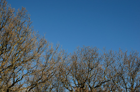 tannenbaum: bare trees in winter and blue bright sky
