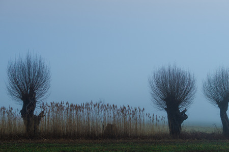 tannenbaum: three willow trees and reed in dense fog