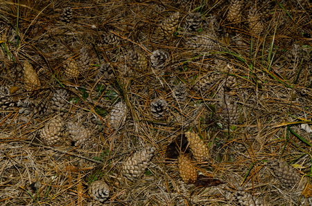 tannenbaum: many pine cones and needles lie on the ground in forest Stock Photo