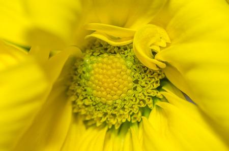 yellow blossom: fresh yellow blossom detail view