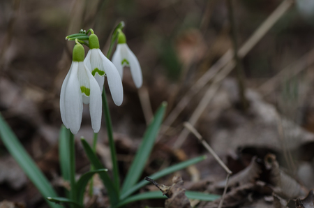 bl: three fresh snowdrops in spring Stock Photo