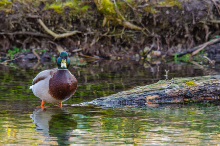 duck standing in shallow water and looks Stock Photo