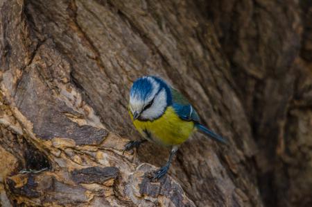 fodder corn: bluetit sitting on a tree in spring