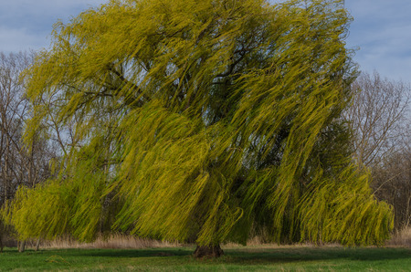 tannenbaum: large tree willow in the wind Detail view Stock Photo