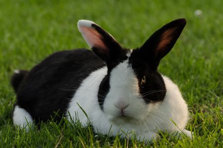 black and white bunny in the grass looking at the camera