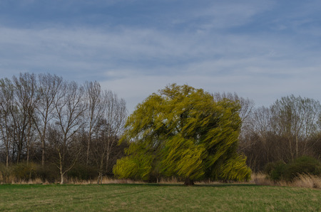 tannenbaum: large tree willow with strong wind Stock Photo